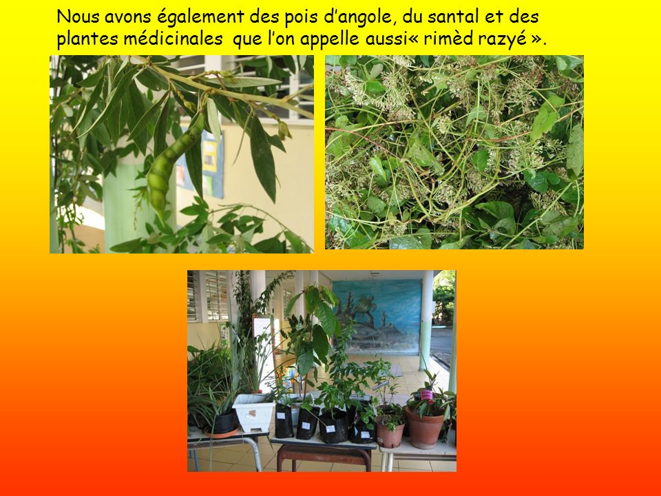Nous avons également des pois dangole, du santal et des plantes médicinales que lon appelle aussi« rimèd razyé ».