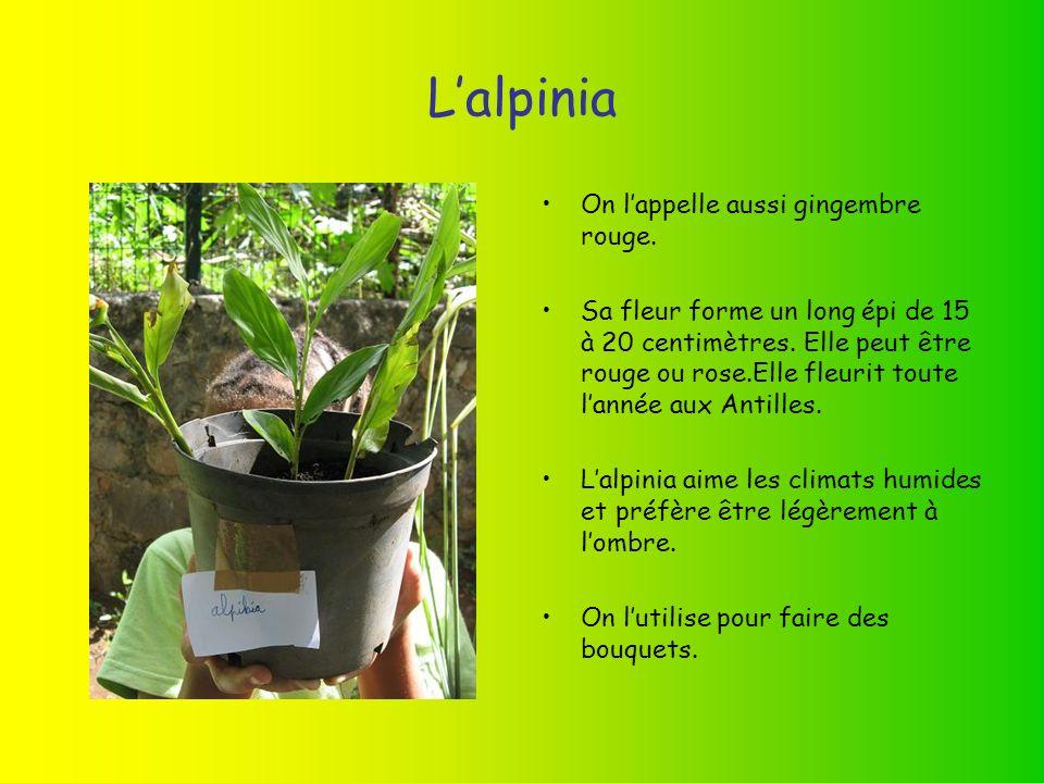 Lalpinia On lappelle aussi gingembre rouge.Sa fleur forme un long épi de 15 à 20 centimètres.
