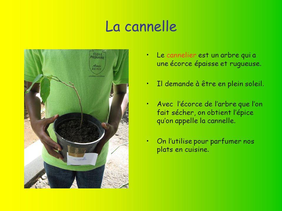 La cannelle Le cannelier est un arbre qui a une écorce épaisse et rugueuse.