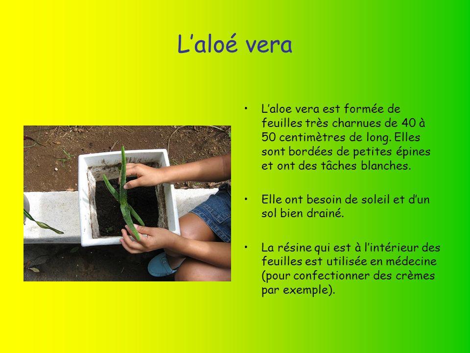 Laloé vera Laloe vera est formée de feuilles très charnues de 40 à 50 centimètres de long.