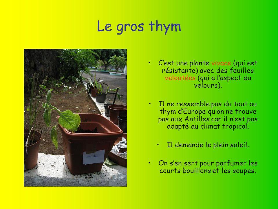 Le gros thym Cest une plante vivace (qui est résistante) avec des feuilles veloutées (qui a laspect du velours).