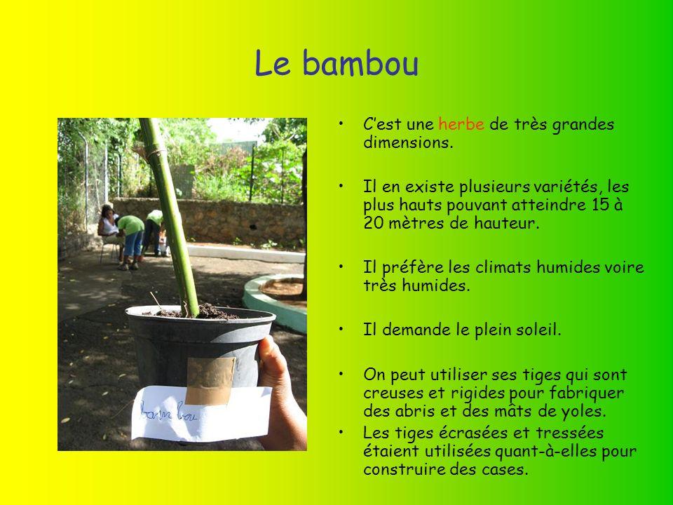 Le bambou Cest une herbe de très grandes dimensions.