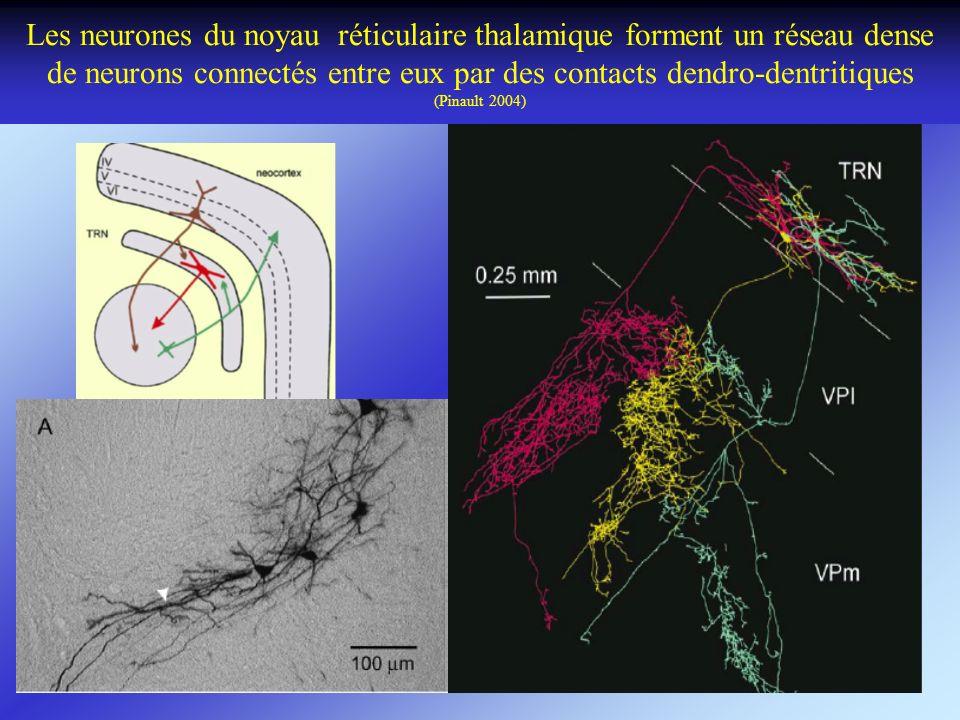 Les neurones du noyau réticulaire thalamique forment un réseau dense de neurons connectés entre eux par des contacts dendro-dentritiques (Pinault 2004