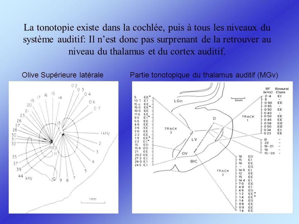 La tonotopie existe dans la cochlée, puis à tous les niveaux du système auditif: Il nest donc pas surprenant de la retrouver au niveau du thalamus et