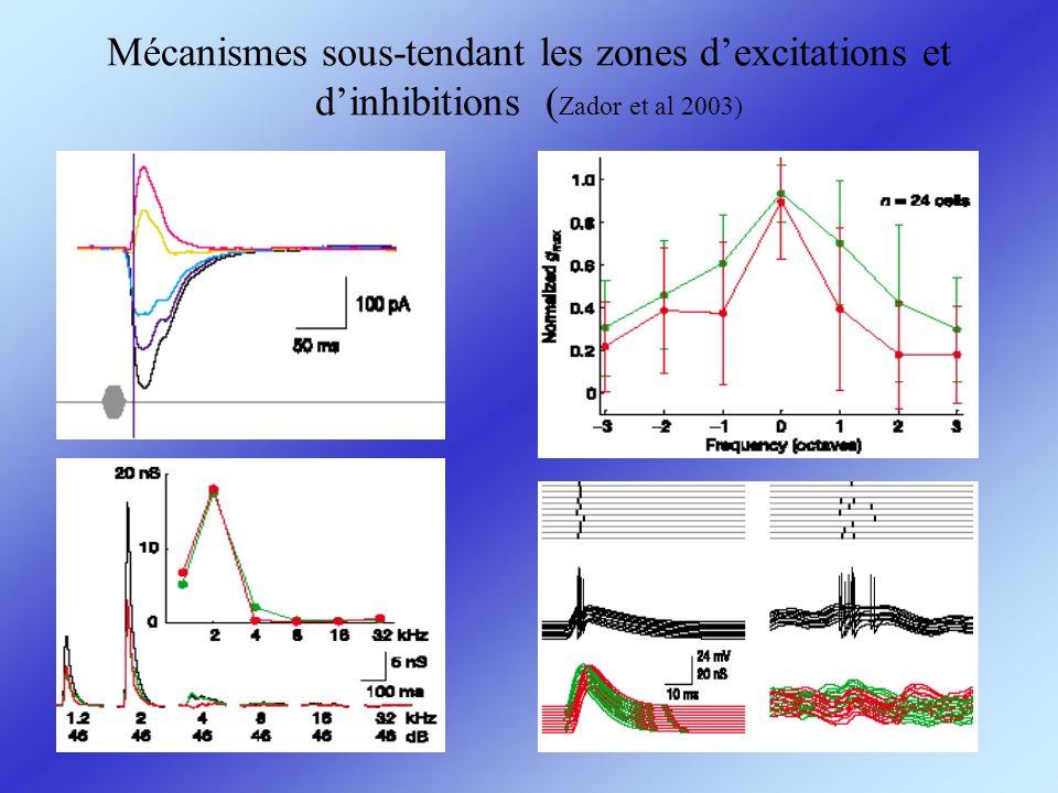 Mécanismes sous-tendant les zones dexcitations et dinhibitions ( Zador et al 2003)