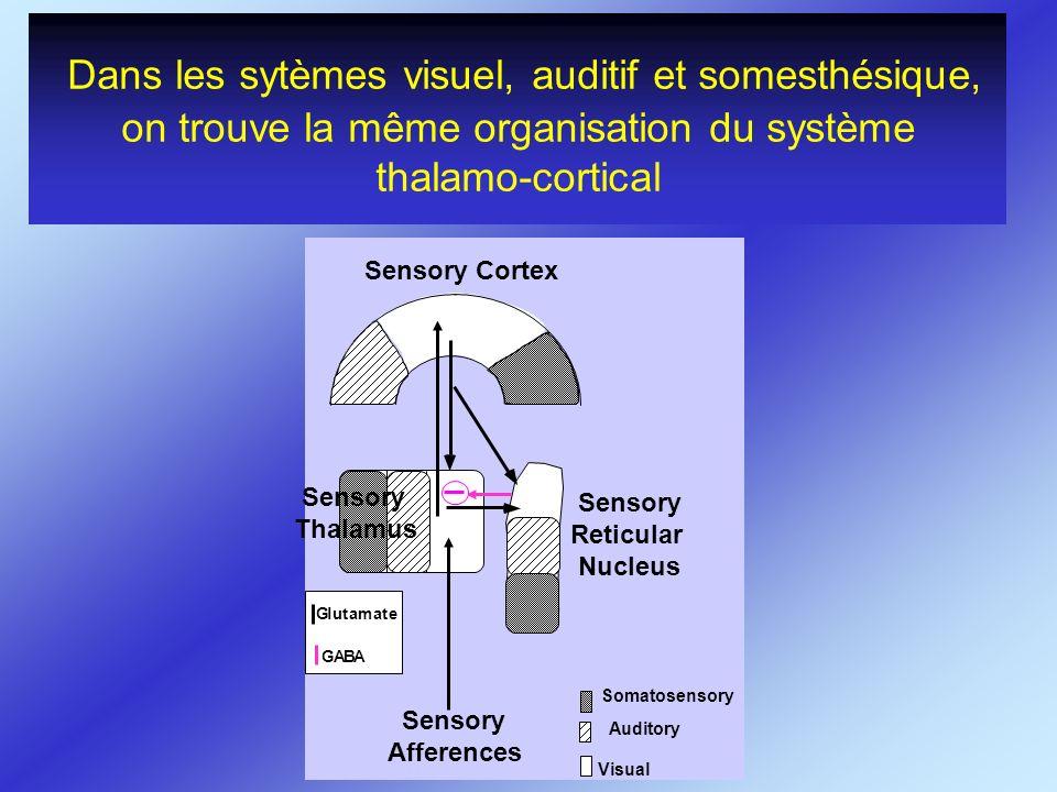 Dans les sytèmes visuel, auditif et somesthésique, on trouve la même organisation du système thalamo-cortical GABA Glutamate Sensory Cortex Sensory Re
