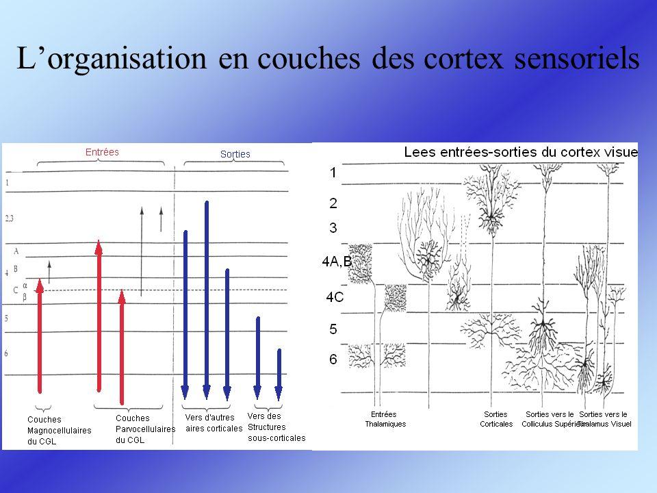 En fait dans le système auditif, le schéma de connectivité est plutôt: