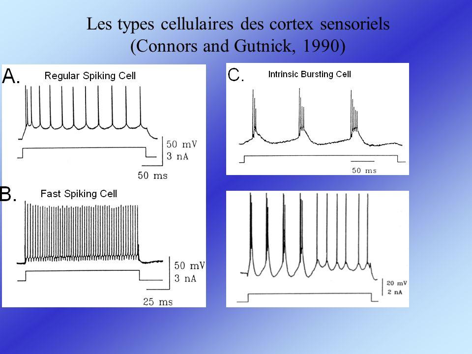 Les connexions entre types cellulaires des cortex sensoriels (Agmon & Connors, 1992)