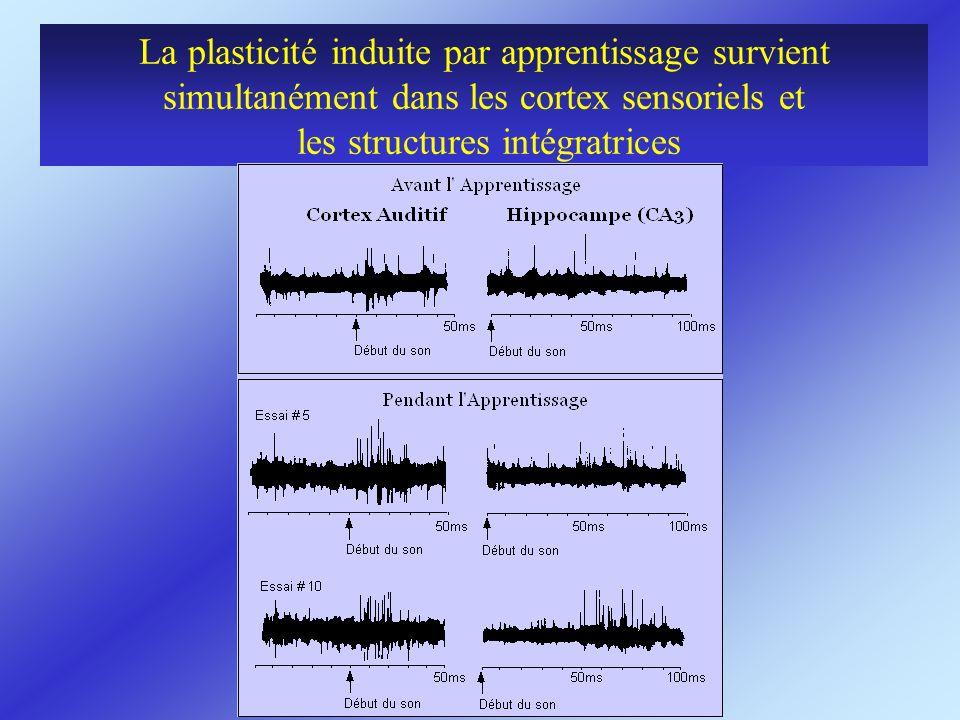 La plasticité induite par apprentissage survient simultanément dans les cortex sensoriels et les structures intégratrices