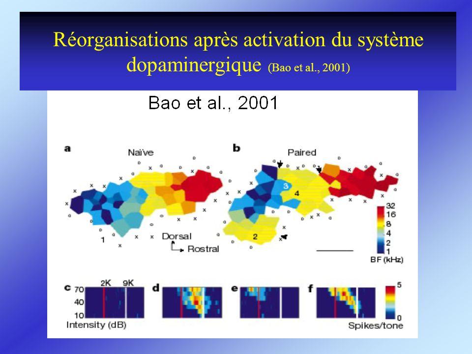 Réorganisations après activation du système dopaminergique (Bao et al., 2001)