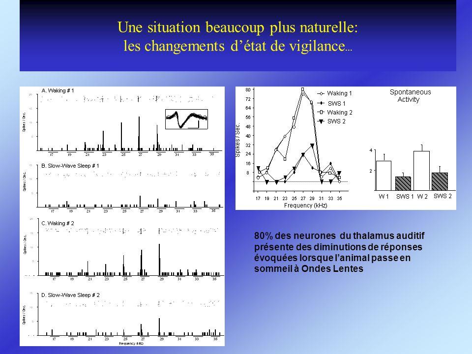 Une situation beaucoup plus naturelle: les changements détat de vigilance... 80% des neurones du thalamus auditif présente des diminutions de réponses