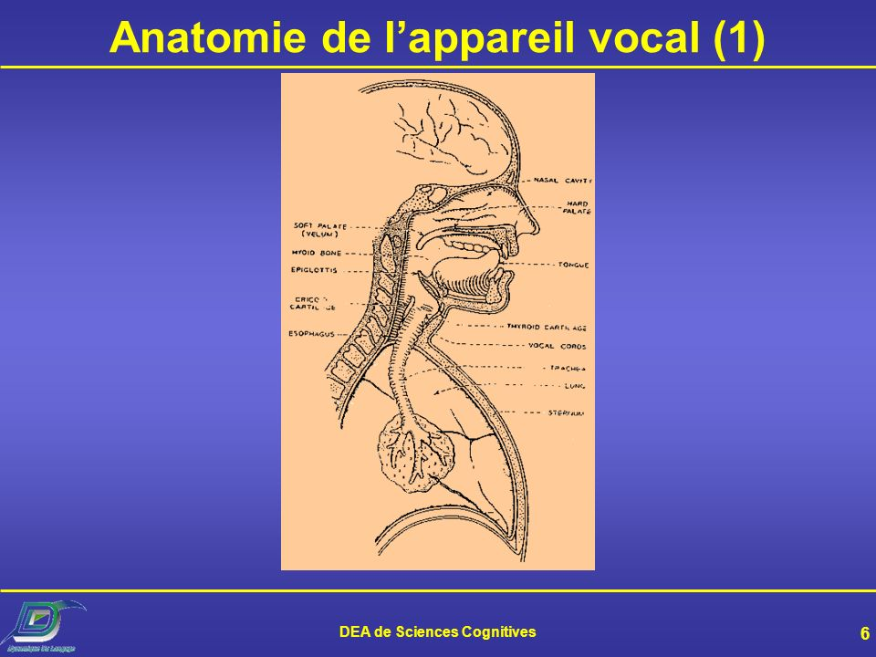 DEA de Sciences Cognitives 6 Anatomie de lappareil vocal (1)