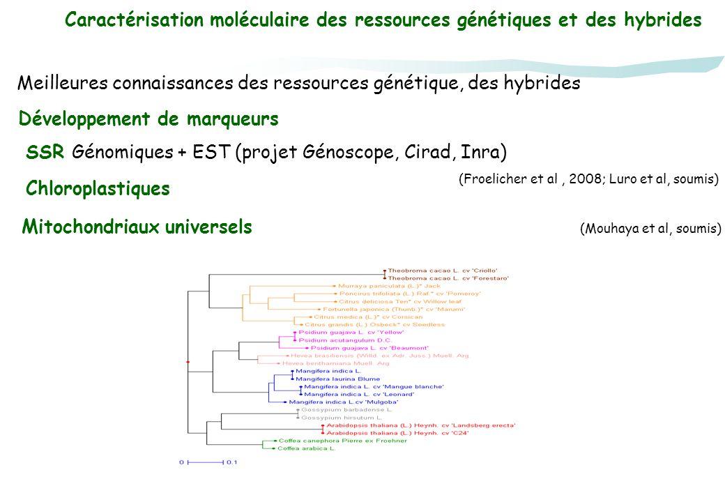 Caractérisation moléculaire des ressources génétiques et des hybrides Développement de marqueurs SSR Génomiques + EST (projet Génoscope, Cirad, Inra)