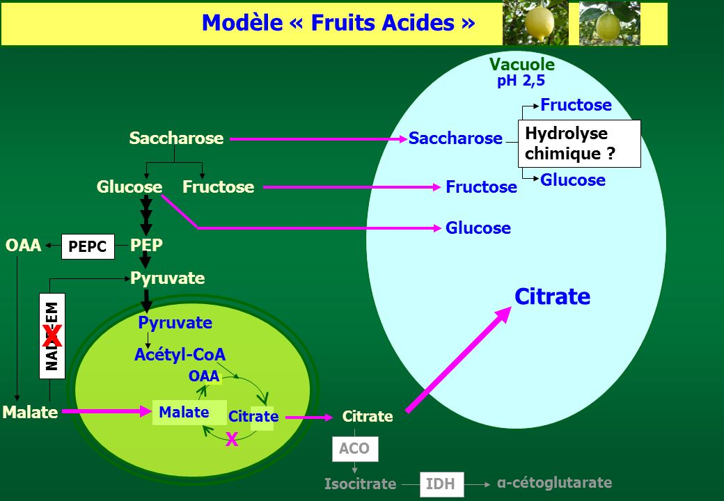 Pyruvate Acétyl-CoA Pyruvate Saccharose GlucoseFructose Saccharose Glucose PEP Fructose Glucose Citrate α-cétoglutarate IDH Isocitrate ACO Modèle « Fr
