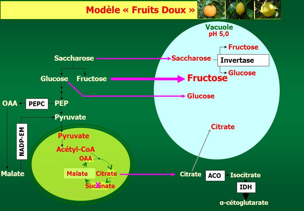 Pyruvate Acétyl-CoA Pyruvate Saccharose GlucoseFructose Saccharose Glucose PEP Fructose Glucose Malate Vacuole Invertase Citrate pH 5,0 OAA NADP-EM OA