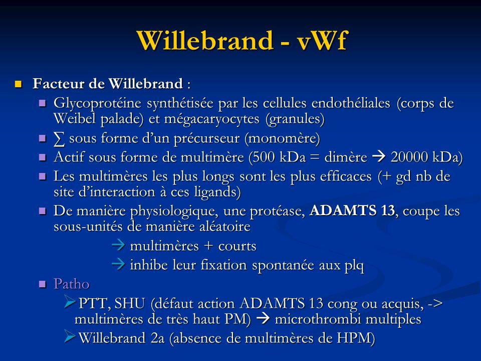 Willebrand - vWf Facteur de Willebrand : Facteur de Willebrand : Glycoprotéine synthétisée par les cellules endothéliales (corps de Weibel palade) et