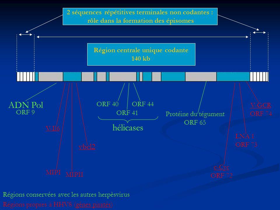 2 séquences répétitives terminales non codantes : rôle dans la formation des épisomes Région centrale unique codante 140 kb ADN Pol ORF 9 ORF 40 ORF 4