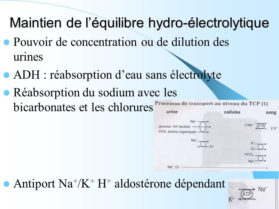 Maintien de léquilibre hydro-électrolytique Pouvoir de concentration ou de dilution des urines ADH : réabsorption deau sans électrolyte Réabsorption d