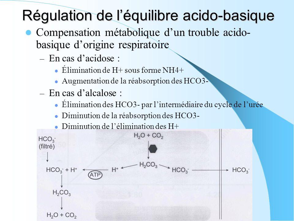 Régulation de léquilibre acido-basique Compensation métabolique dun trouble acido- basique dorigine respiratoire – En cas dacidose : Élimination de H+