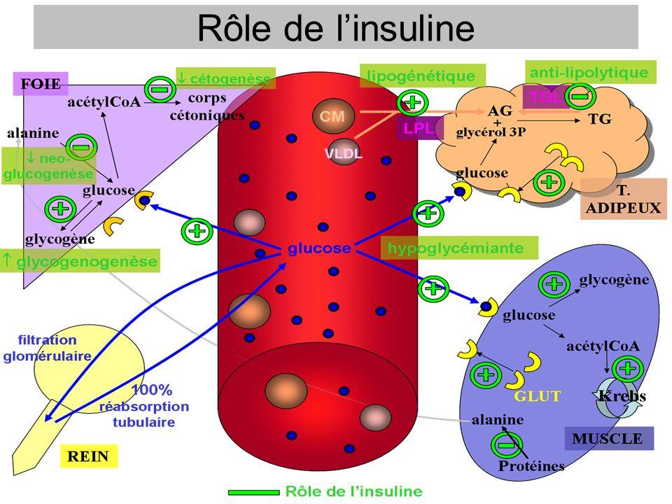 Rôle de linsuline