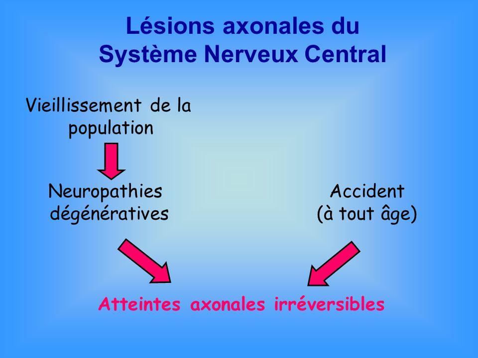 Cellules du Système Nerveux Central Les neurones Les cellules gliales : cellules de soutien Astrocytes Microgliocytes Oligodendrocytes
