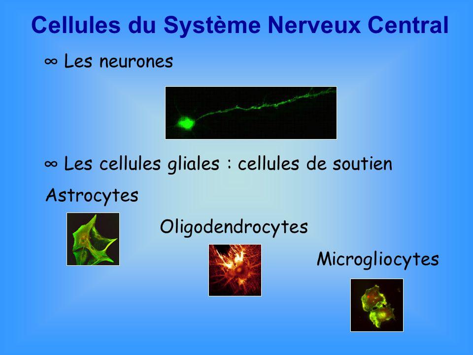 Maturation des cellules nerveuses QFAs : maturation de neurones embryonnaires au stade E15 Différentes concentrations testées : 10 -7 à 10 -12 M SourisEmbryon E15 Cerveau Neurones corticaux Traitement par QFAs Fixation Révélation T = 2j T = 3j