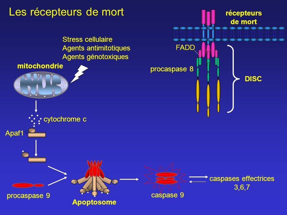 caspases effectrices 3,6,7 Apaf1 caspase 9 récepteurs de mort cytochrome c mitochondrie FADD Stress cellulaire Agents antimitotiques Agents génotoxiqu