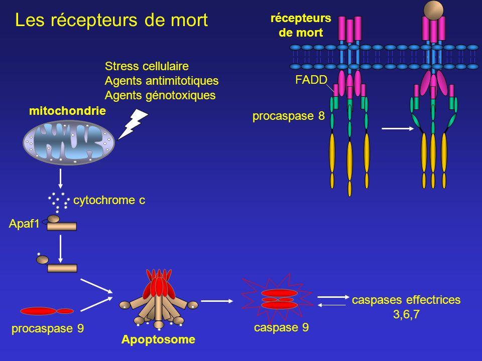 caspases effectrices 3,6,7 Apaf1 caspase 9 cytochrome c mitochondrie FADD Stress cellulaire Agents antimitotiques Agents génotoxiques procaspase 8 Les