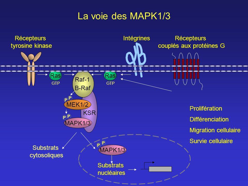 GTP La voie des MAPK1/3 Prolifération Différenciation Survie cellulaire Migration cellulaire Ras MEK1/2 P P Raf-1 MAPK1/3 P P P KSR GTP Substrats cyto