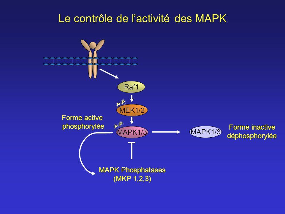 MEK1/2 Raf1 MAPK1/3 P P P P Le contrôle de lactivité des MAPK Forme active phosphorylée Forme inactive déphosphorylée MAPK Phosphatases (MKP 1,2,3)