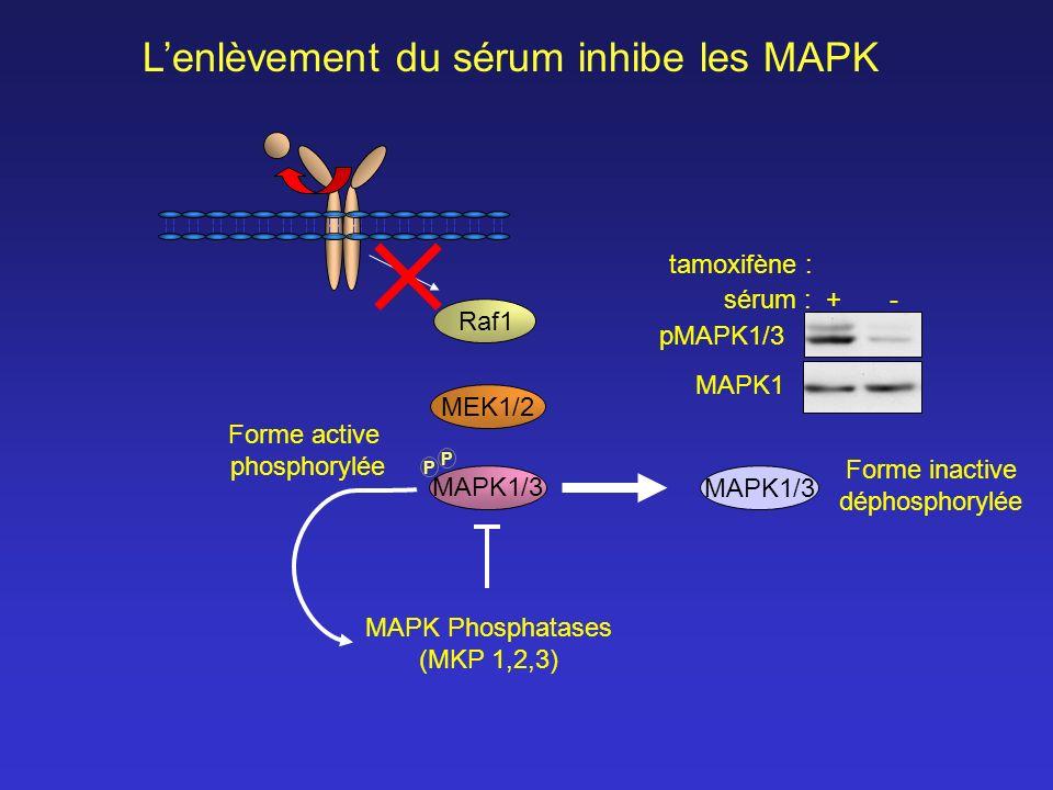 MEK1/2 Raf1 MAPK1/3 P P Lenlèvement du sérum inhibe les MAPK Forme active phosphorylée MAPK Phosphatases (MKP 1,2,3) Forme inactive déphosphorylée pMA