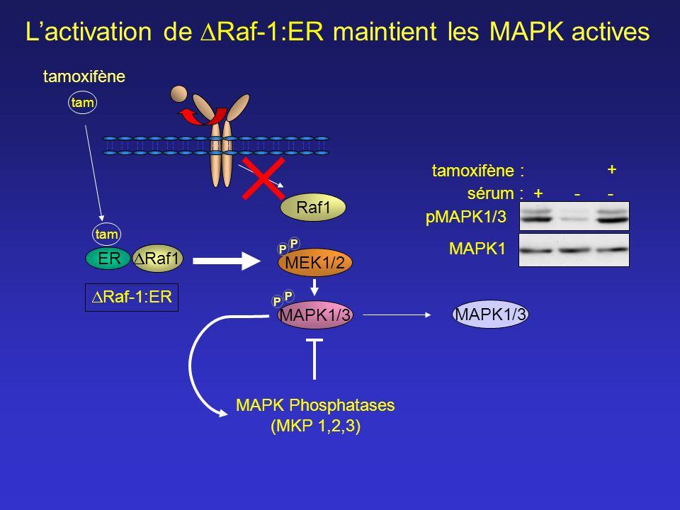 MEK1/2 Raf1 MAPK1/3 tam tamoxifène P P P P Lactivation de Raf-1:ER maintient les MAPK actives pMAPK1/3 MAPK1 sérum :+-- + tamoxifène : Raf-1:ER Raf1 t