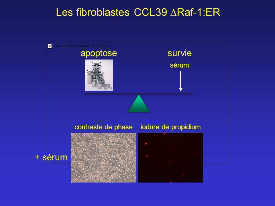 contraste de phaseiodure de propidium + sérum Les fibroblastes CCL39 Raf-1:ER survie sérum apoptose