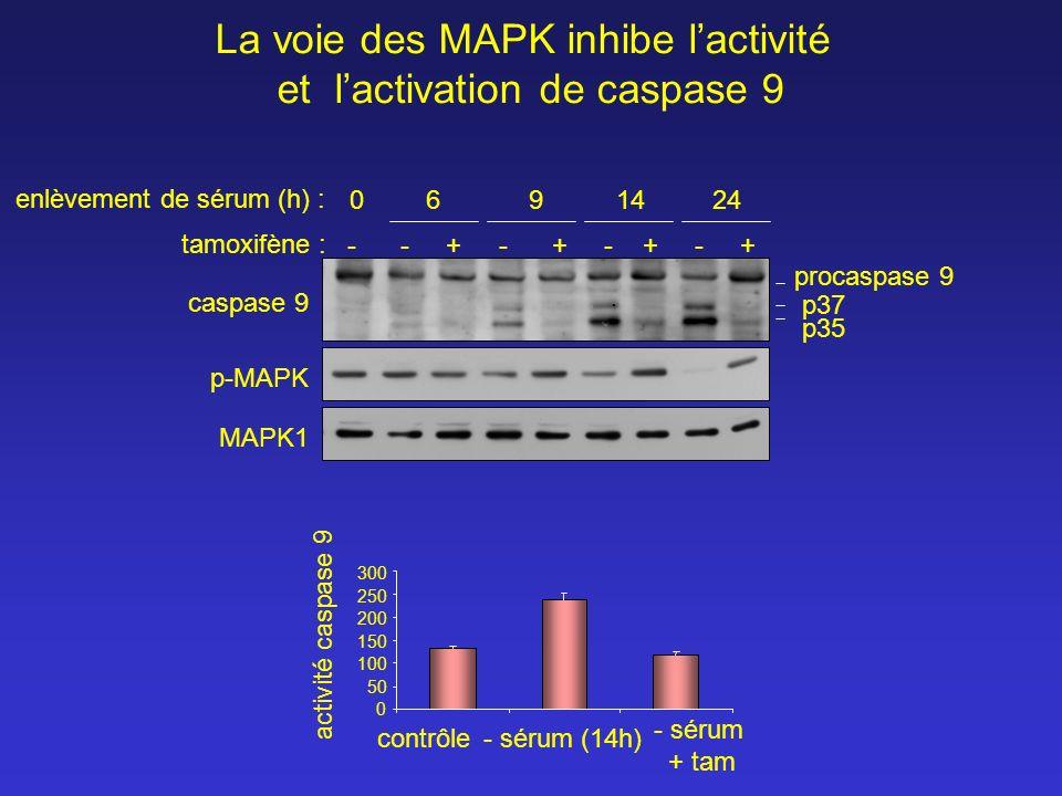 tamoxifène : 0 6 9 14 24 caspase 9 p-MAPK MAPK1 procaspase 9 p37 p35 - - + - + - + - + enlèvement de sérum (h) : La voie des MAPK inhibe lactivité et