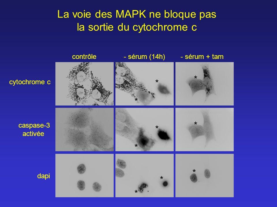 contrôle- sérum (14h)- sérum + tam dapi caspase-3 activée cytochrome c La voie des MAPK ne bloque pas la sortie du cytochrome c * * * * * * * * *