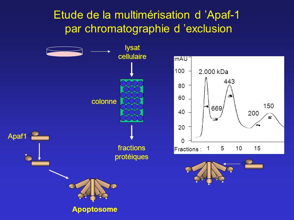 Apaf1 Apoptosome fractions protéiques lysat cellulaire 12000 0 20 40 60 80 669 443 200 150 100 mAU 2.000 kDa 155101 Fractions : Etude de la multiméris