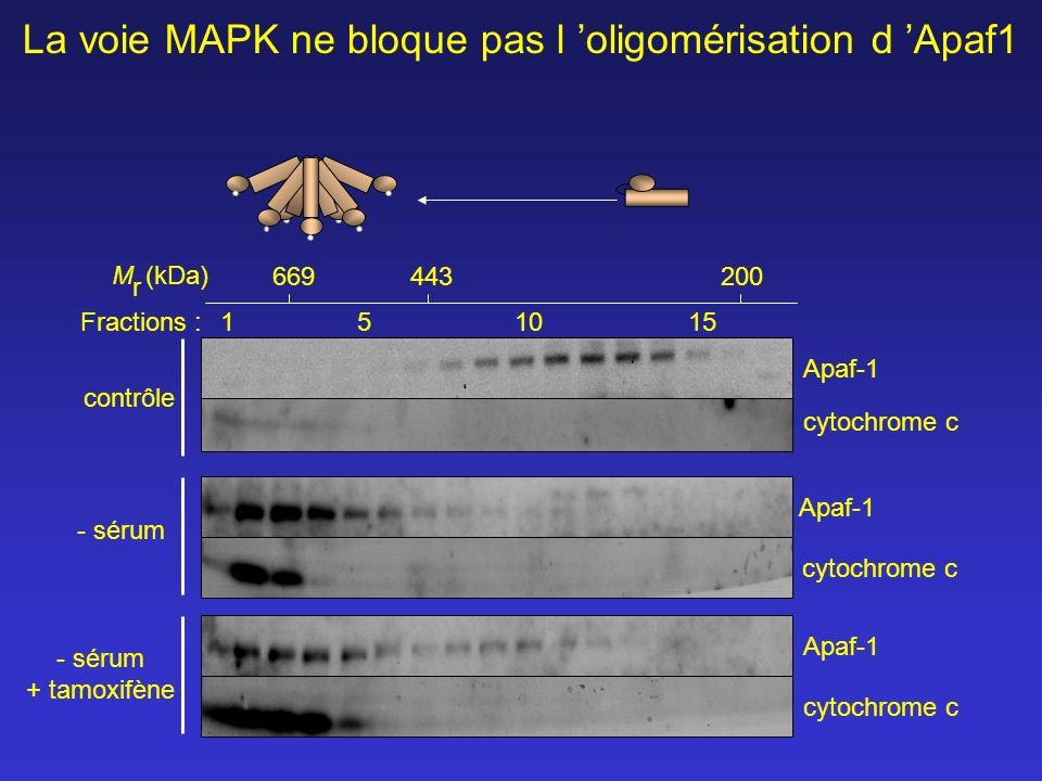 cytochrome c Apaf-1 cytochrome c Apaf-1 M r (kDa) Fractions :1 51015 669443200 cytochrome c Apaf-1 contrôle - sérum + tamoxifène - sérum La voie MAPK