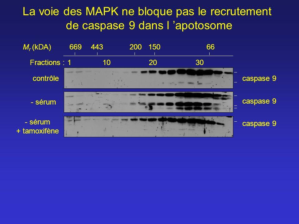 Fractions :1102030 66944320015066 contrôle - sérum M r (kDA) La voie des MAPK ne bloque pas le recrutement de caspase 9 dans l apotosome caspase 9 - s