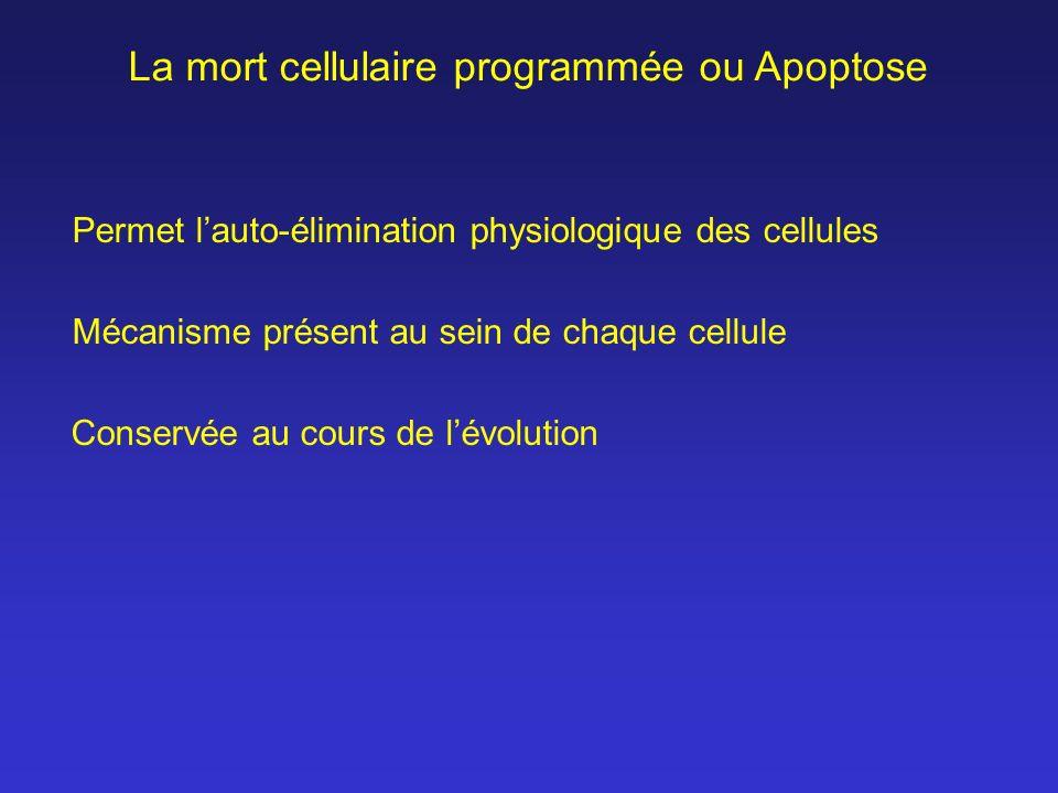 La mort cellulaire programmée ou Apoptose Conservée au cours de lévolution Mécanisme présent au sein de chaque cellule Permet lauto-élimination physio