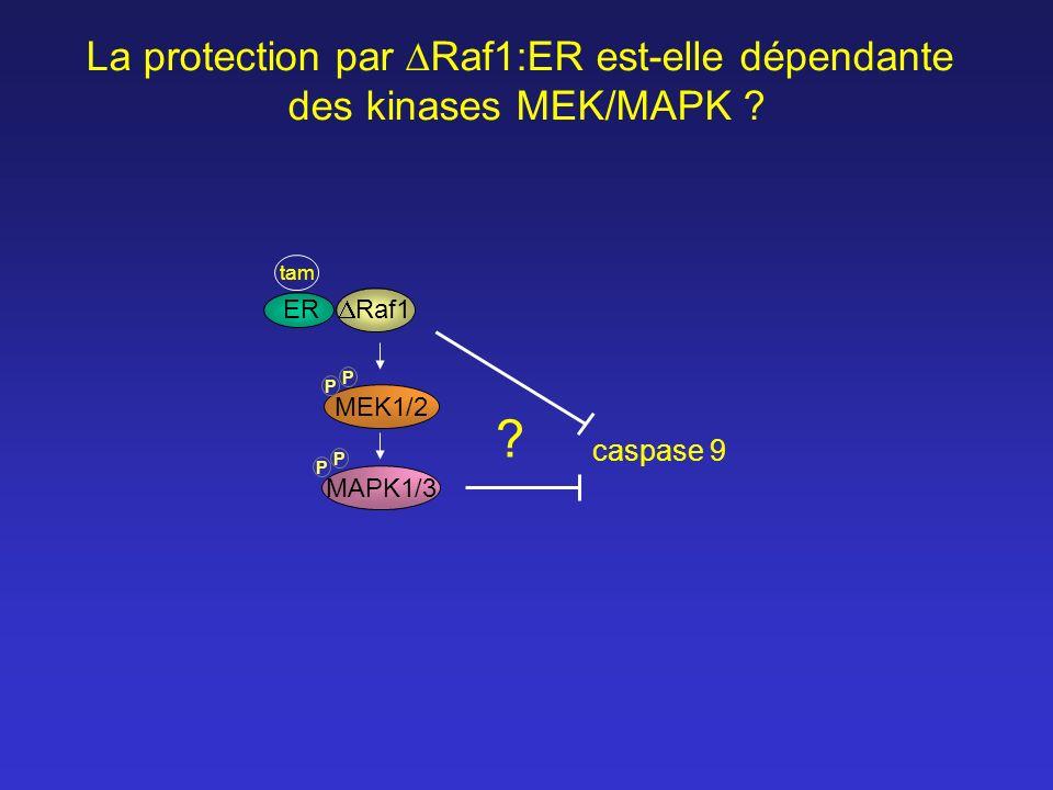 MEK1/2 MAPK1/3 Raf1 tam P P P P ER ? La protection par Raf1:ER est-elle dépendante des kinases MEK/MAPK ? caspase 9