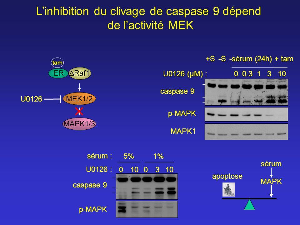 MAPK1/3 MEK1/2 U0126 Linhibition du clivage de caspase 9 dépend de lactivité MEK 0 0.3 1 3 10 -sérum (24h) + tam-S+S p-MAPK MAPK1 U0126 (µM) : caspase