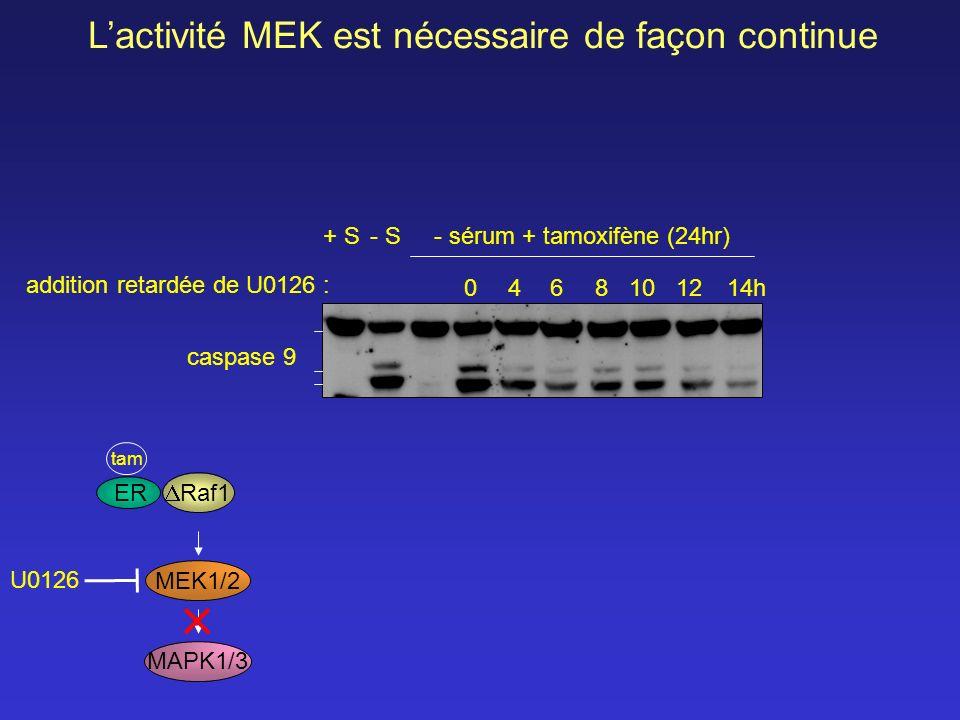 04681012 14h + S- S - sérum + tamoxifène (24hr) addition retardée de U0126 : Lactivité MEK est nécessaire de façon continue caspase 9 MAPK1/3 MEK1/2 U