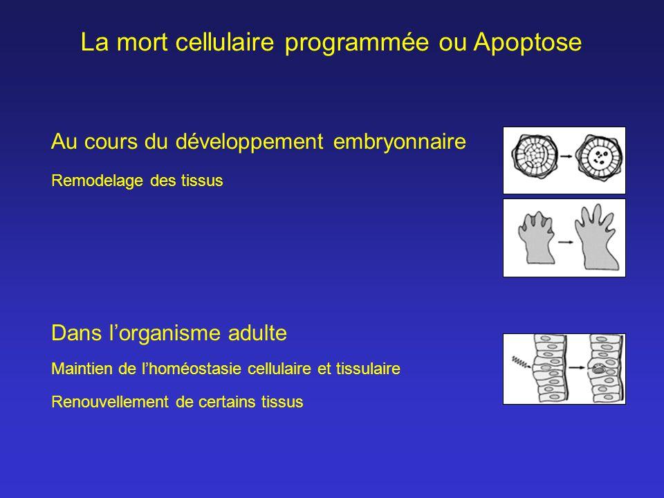 La mort cellulaire programmée ou Apoptose Au cours du développement embryonnaire Dans lorganisme adulte Maintien de lhoméostasie cellulaire et tissula