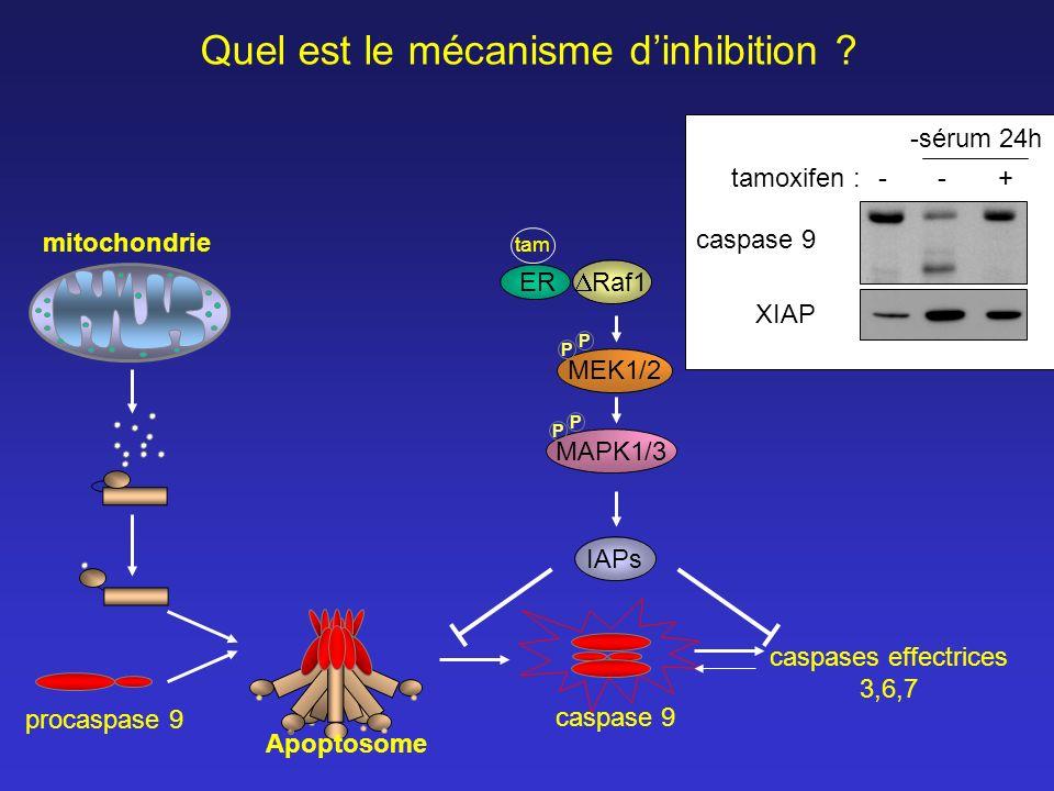 caspases effectrices 3,6,7 caspase 9 mitochondrie MEK1/2 MAPK1/3 P P P P IAPs Quel est le mécanisme dinhibition ? Raf1 tam ER caspase 9 XIAP tamoxifen