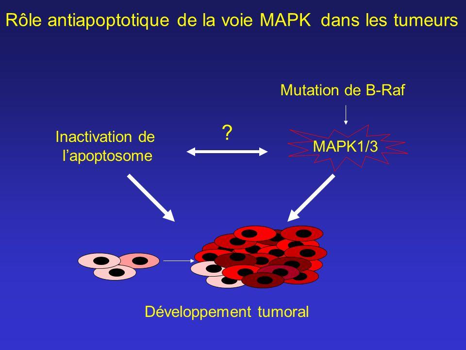 Rôle antiapoptotique de la voie MAPK dans les tumeurs Développement tumoral Inactivation de lapoptosome Mutation de B-Raf MAPK1/3 ?