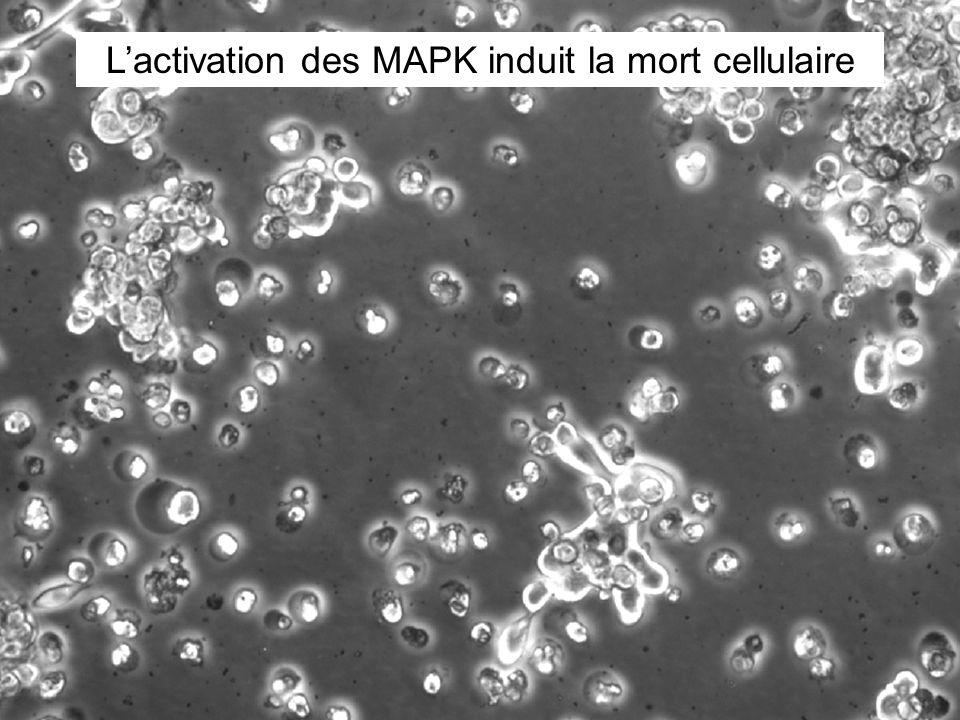 Lactivation des MAPK induit la mort cellulaire