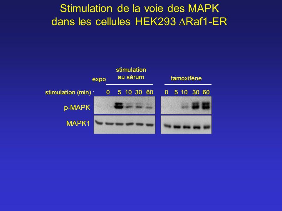 0510306005103060 stimulation au sérum tamoxifène expo stimulation (min) : p-MAPK MAPK1 Stimulation de la voie des MAPK dans les cellules HEK293 Raf1-E