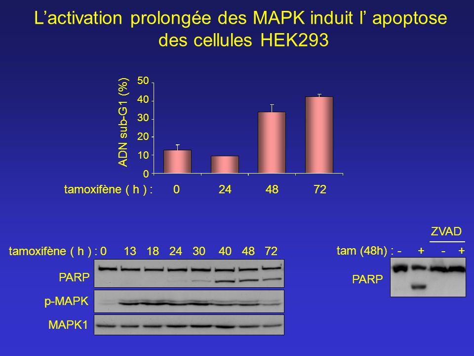 Lactivation prolongée des MAPK induit l apoptose des cellules HEK293 0 13 18 24 30 40 48 72 tamoxifène ( h ) : MAPK1 p-MAPK PARP - + ZVAD tam (48h) :