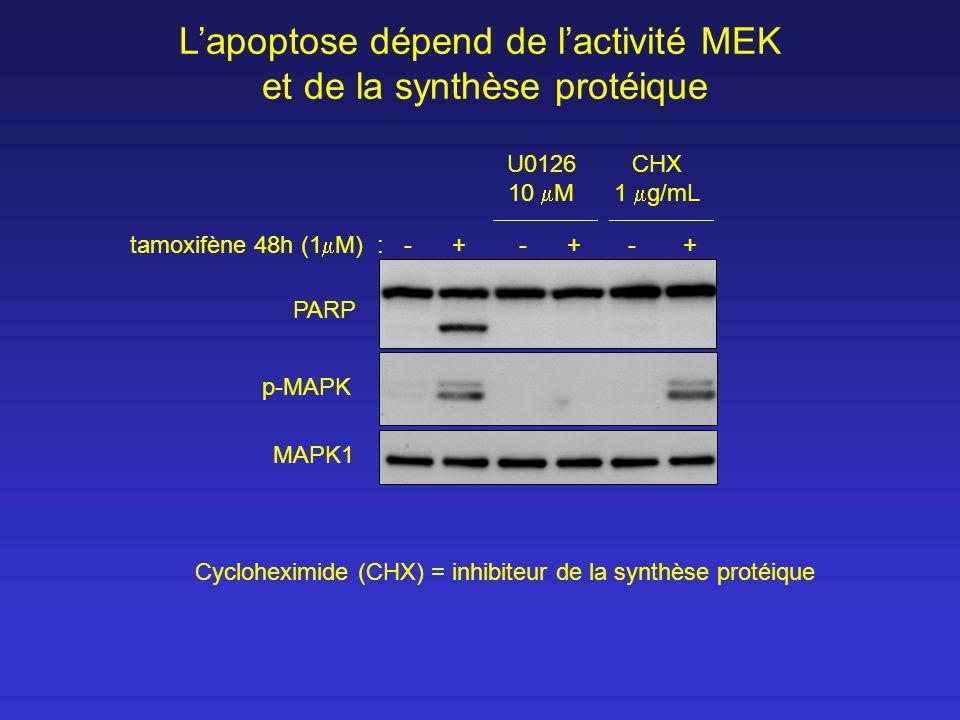 tamoxifène 48h (1 M) : - + - + - + CHX 1 g/mL U0126 10 M PARP p-MAPK MAPK1 Lapoptose dépend de lactivité MEK et de la synthèse protéique Cycloheximide