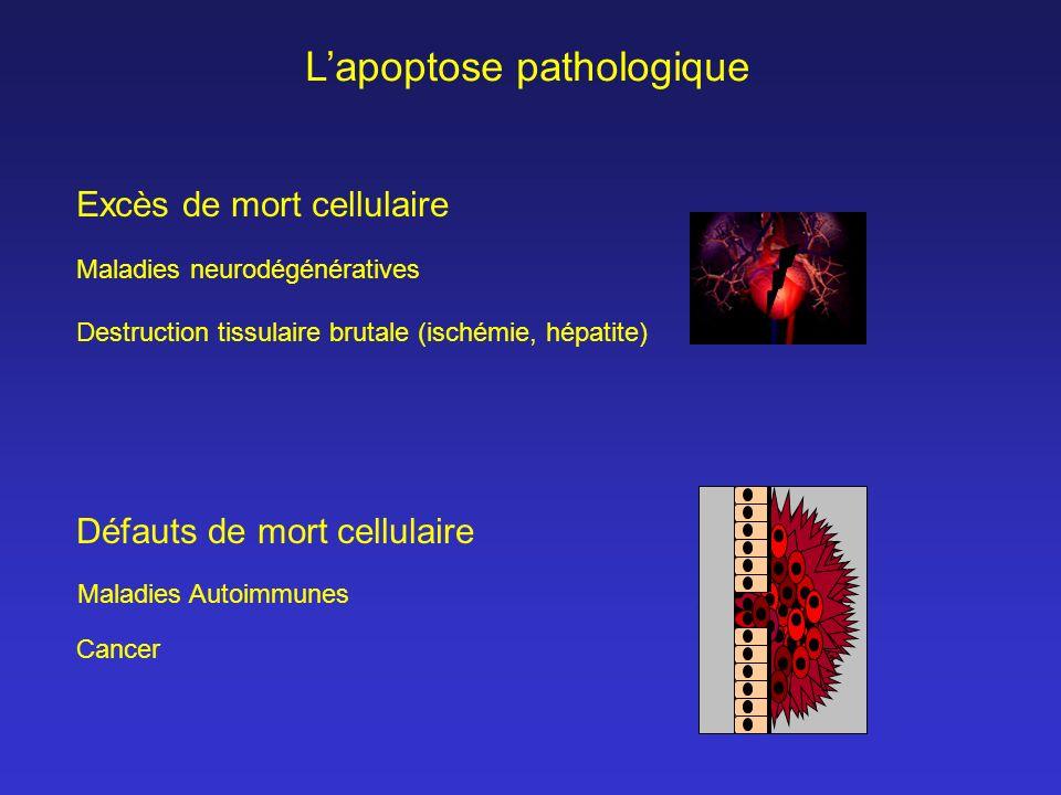 Excès de mort cellulaire Destruction tissulaire brutale (ischémie, hépatite) Défauts de mort cellulaire Maladies Autoimmunes Maladies neurodégénérativ